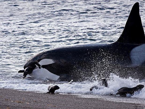 Orcas se alimentando de filhotes de leões marinhos , na Península de Valdés  no sul da Argentina.