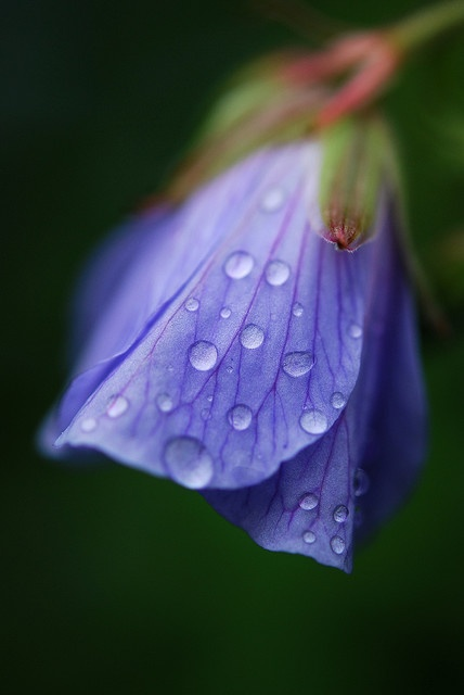 Meadow cranesbill (Geranium pratense) of Europe and Asia.  Photo: Andrew Kearton.