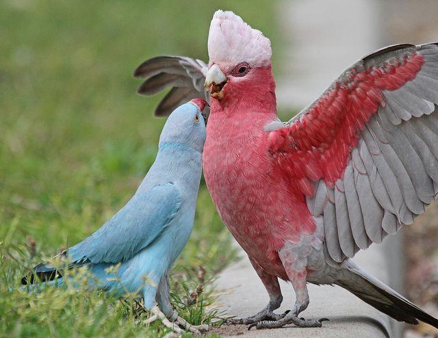 "Blue Ring-necked Parakeet and a Galah meet - ""Hi, sweety, whatcha doin' tonight?"