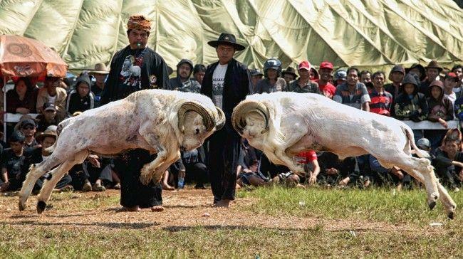 Daftar Harga Domba Garut – Domba Garut ialah Domba yang berketurunan dari Garut Jawa Barat, Domba Garut ini benar-benar populer di Indonesia karena karakter domba garut yang eksklusif,