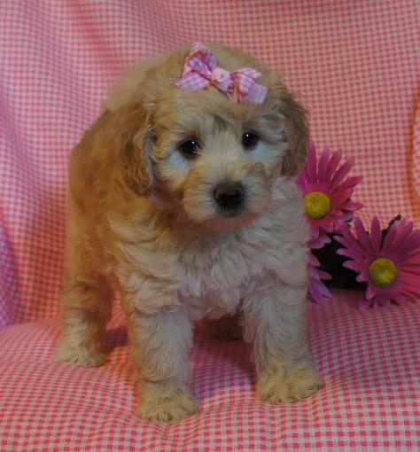 My Doodle Darlins Miniature and Mini Petite Goldendoodle Breeder in Arkansas