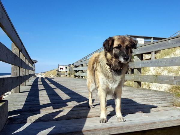 Hund Paul auf Sylt im Mai 2017