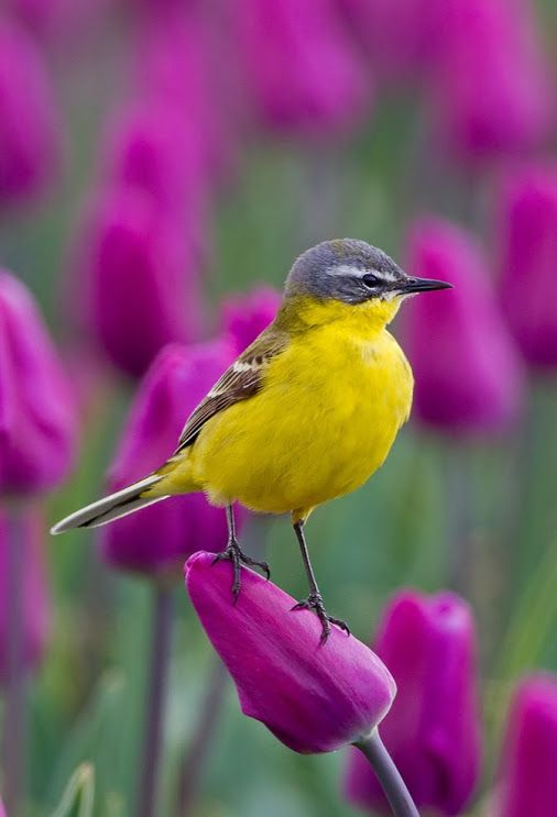 Yellow wagtail resting on purple tulip.