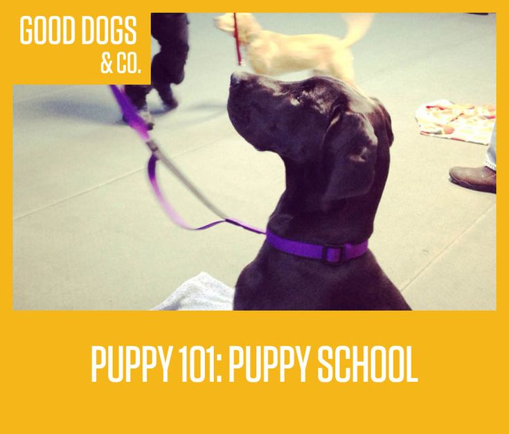 Puppy school is typically touted as the starting point for a well-behaved dog. From there, you could move on into different obedience classes, take agility courses, or even train to compete in dog shows… but it all starts at square one: puppy school.