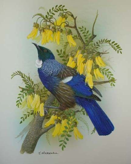 New Zealand Tui on kowhai blossom by janet marshall on ARTwanted