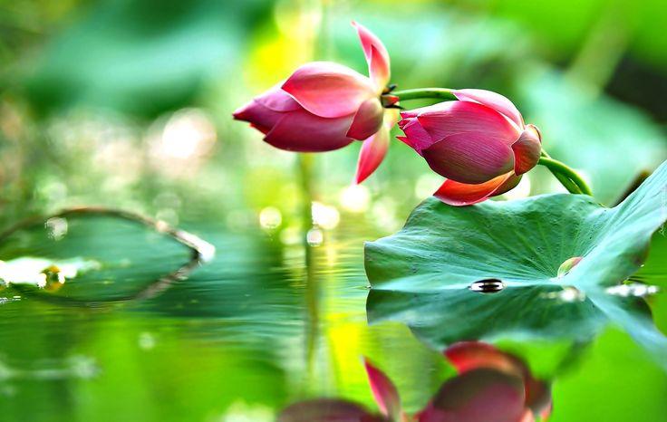 Kwiaty, Lotos, Woda, Liście