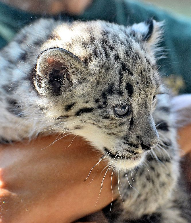 Snow leopard Uzbekistan | snow leopard cubs born (PHOTOS- VIDEO)