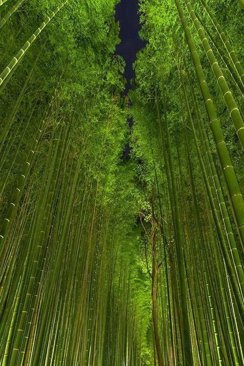 Beautiful Bamboo Forest, Arashiyama, Kyoto, Japan