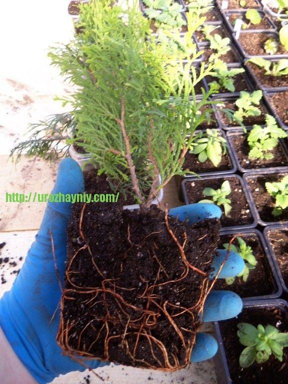 Черенкование хвойных   Хочу поделиться опытом, как делать черенкование хвойных растений, чтобы получить хороший результат.   Можжевельники и туи я всегда размножаю черенками. Осенью делаю черенки (можно с пяточкой, я нарезаю без пяточки) длиной см 10-12, нижние хвоинки отрезаю, делаю косо