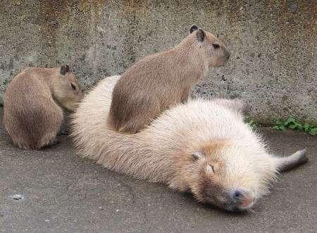 カピバラさんのカリスマ性がすごい!寝転ぶといろんな動物たちが寄り添ってくるw(主に体温のせい)