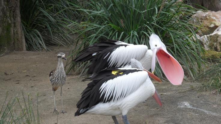 Pelican attack!
