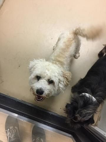 Check out Ace   Chino Hills' profile on AllPaws.com and help him get adopted! Ace   Chino Hills is an adorable Dog that needs a new home. https://www.allpaws.com/adopt-a-dog/poodle-miniature-mix-shih-tzu/6731856?social_ref=pinterest