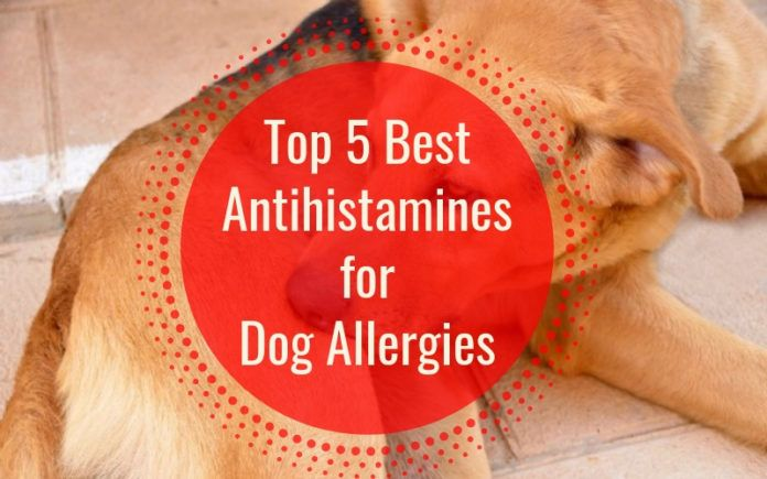 5 Best Antihistamines For Dog Allergies In 2020 With Images Dog Allergies Allergies Dog Coughing