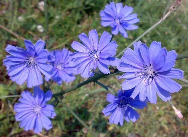 Cykoria Medicinal Plants Italian Flowers Wild Flowers