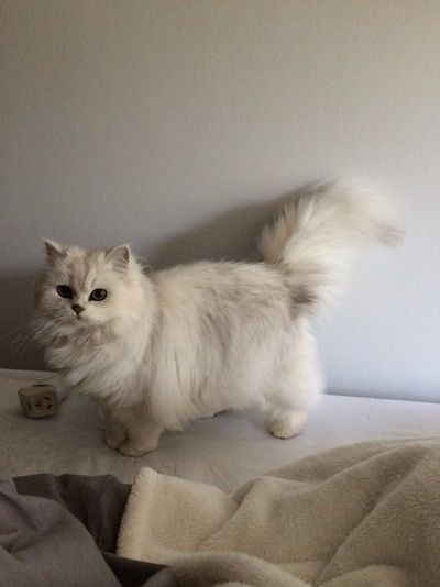 Chinchilla Persian... Watched the fancy feast commercial lol I know but I loved the cat on it and want one like it :P
