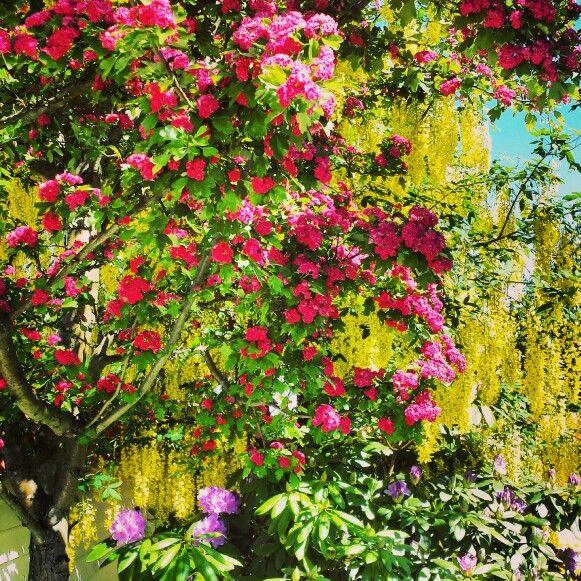 Rosehagtorn og gullregn