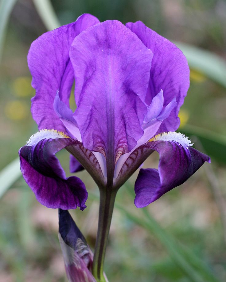 Iris lutescens Gargano National Park Italy Purple garden