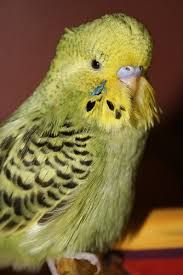 Image result for cinnamon budgie