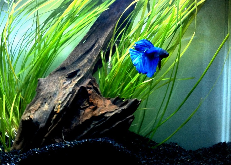 110 best images about betta siamese fighting fish on for Fighting fish tank