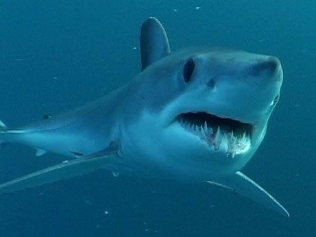 Google Image Result for http://www.animalport.com/img/Shortfin-Mako-Shark.jpg