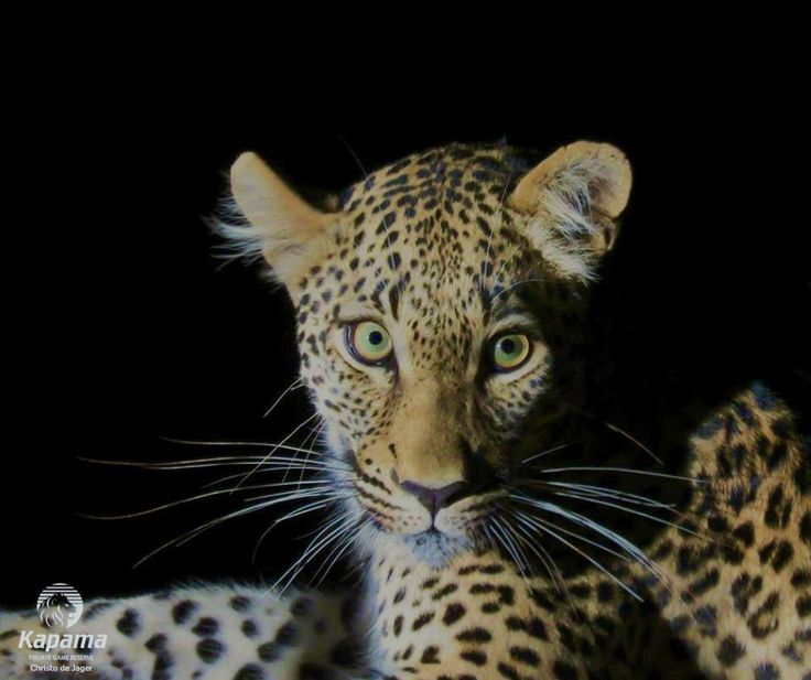 Kapama - The elusive Big 5 Leopard, spotted at night.