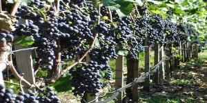 Grape polyphenols might help make painful knees less sore and more flexible.