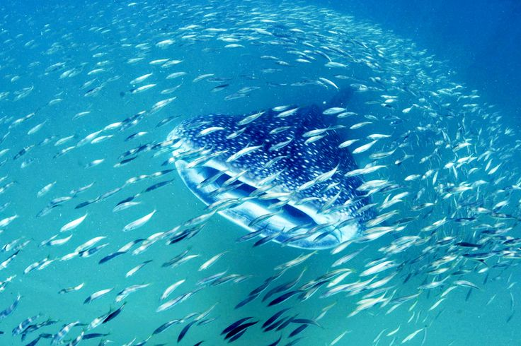 Tansania, Mafia Island – 7.Zuerst die Big 5 in freier Wildbahn beobachten und dann mit dem größten Fisch der Welt abtauchen – Tansania Flitterwochen sind perfekt für verliebte Abenteurer.