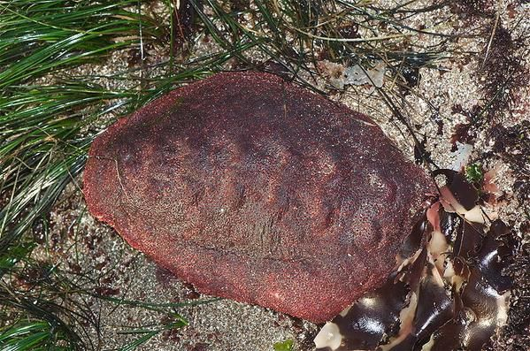 """The Giant Western Firey Chiton (Gumboot) grows to 14"""" - 5 lbs"""