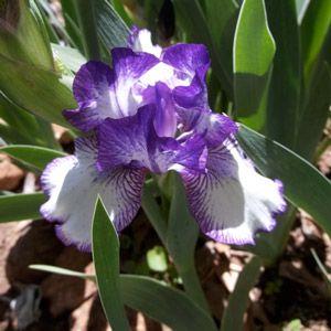 Taking Care of Irises | Carolina Gardener Web Articles on fertilising and caring for them.