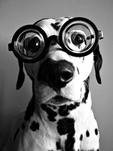 : Animals, Dogs, Glasses, Pets, Funny, Puppy, Dalmatians, Photo, Eye