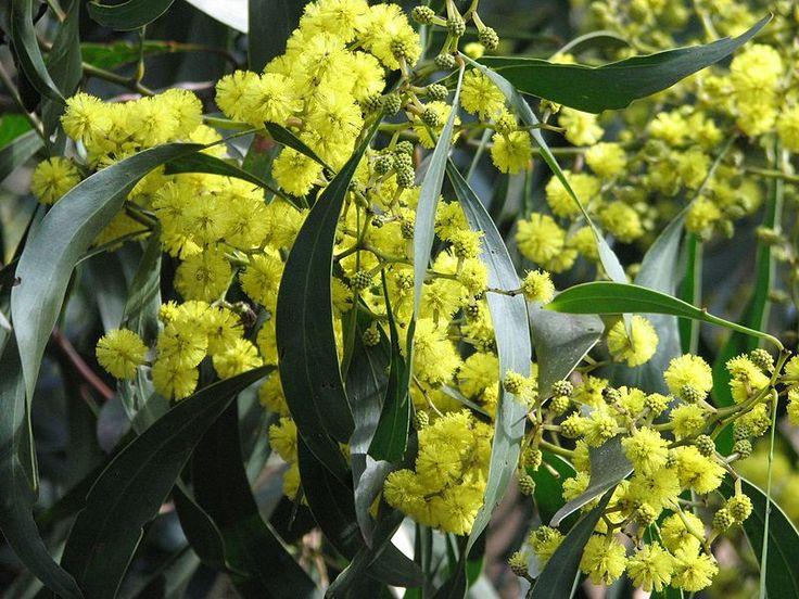 Azucena Blume in Englisch
