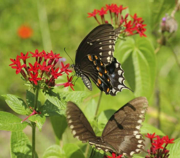 Swallowtail Butterflies Nectaring On Red Flowers In Butterfly Garden  Designed By Brent Knoll Of Knoll Landscape