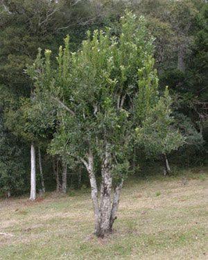 The Yerba Mate tree