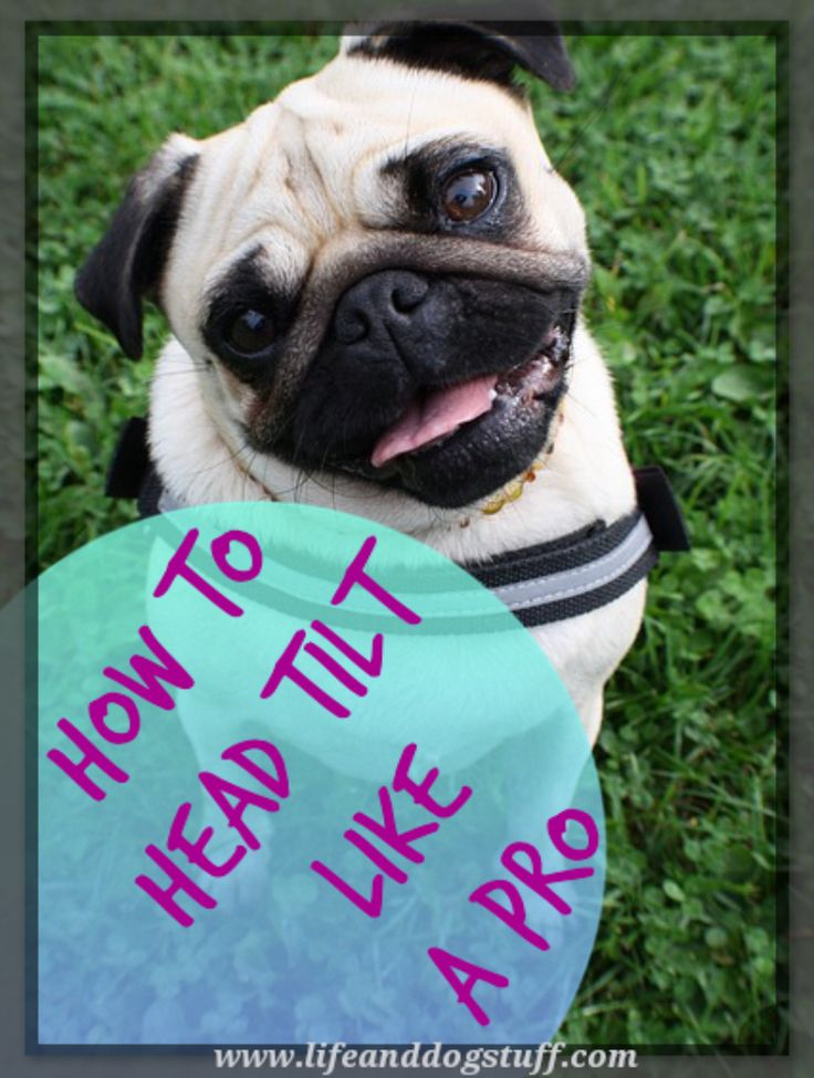 How To Head Tilt Like a Pro! My two doggies Buffy and Fluffy discuss why dogs head tilt. #blog #dogs