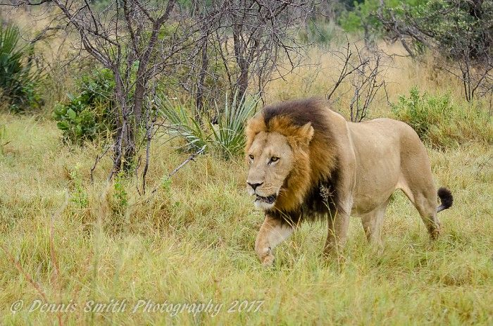 One of a two-lion coalition that has moved back to Hunda Island #OkavangoDelta
