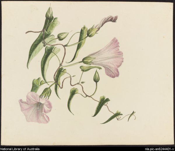 [Convolvulus] [picture]  [1842?] 1 watercolour ; 23.5 x 19.6 cm.  Part of Australian wildflowers, animals and insects [picture]. [1824-1842?]  From National Library of Australia collection  http://nla.gov.au/nla.pic-an6244401  nla.pic-an6244401