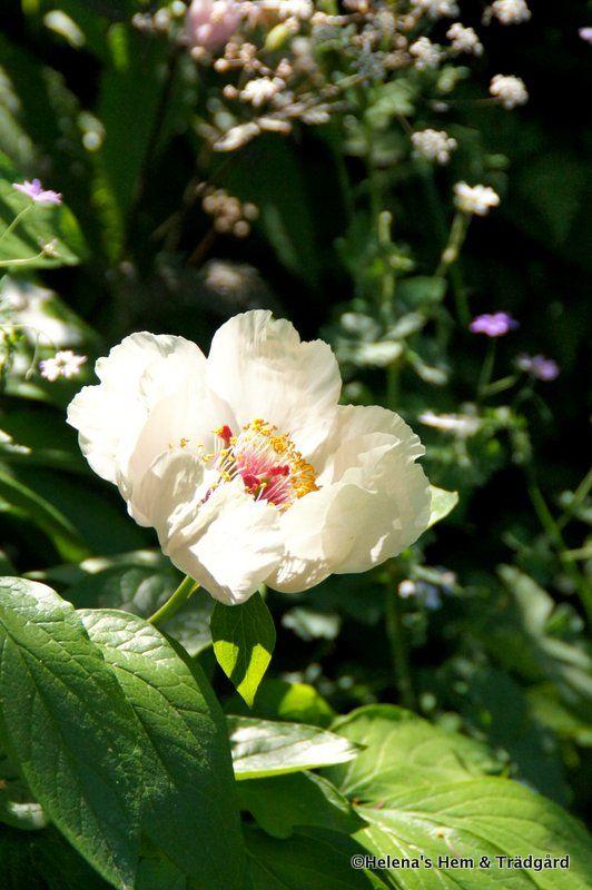 Sidenpion, Paeonia wittmanniana | Kan vara cremevit eller blekt gul. Bladen är jättefina på denna pion.