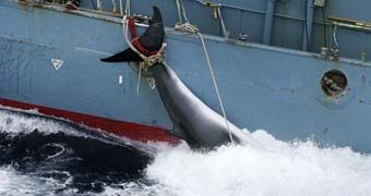 Japan ordered to immediately stop whaling in Antarctic as International Court of Justice rules program was not carried out for scientific pu...