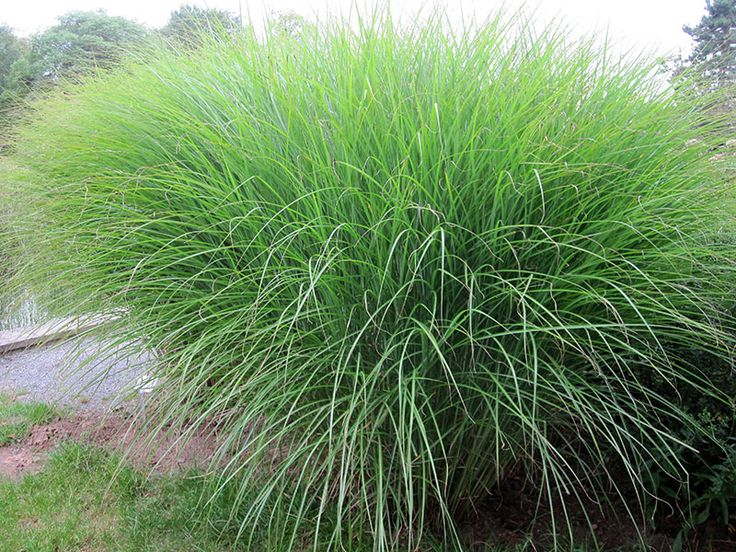 feinhalm chinaschilf gras miscanthus sinensis gracillimus. Black Bedroom Furniture Sets. Home Design Ideas