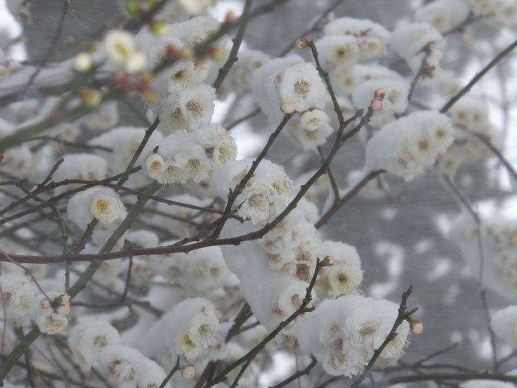 雪と梅(その1)