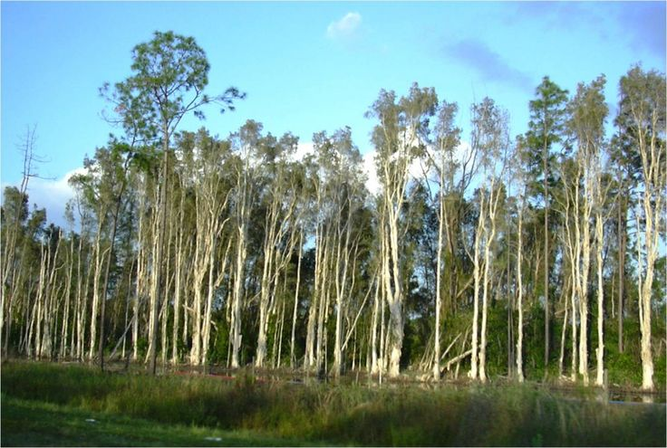 #plantation #niaouli #aromatherapy [ La Compagnie des Sens ]