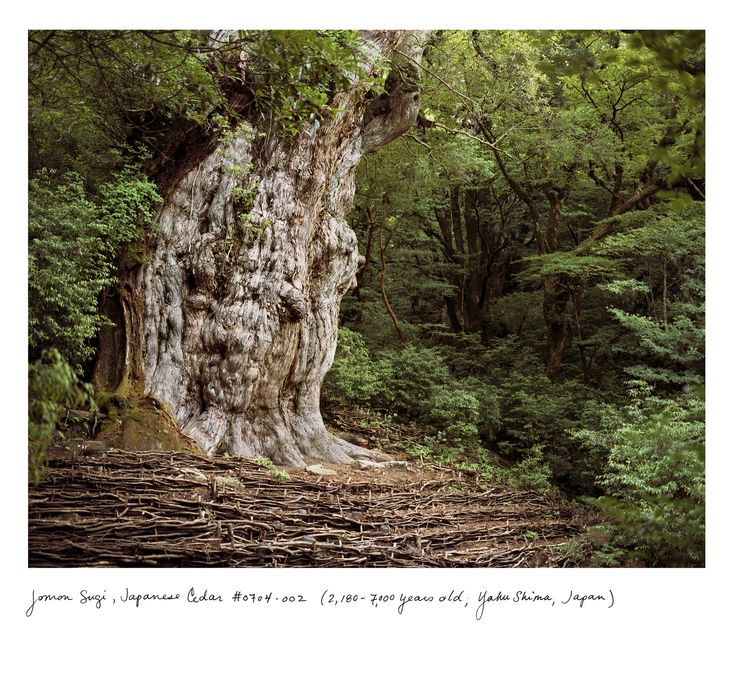 "Jomon Sugi, Japanese Cedar (2,180-7,000 years old, Yahu Shima, Japan). Rachel Sussman has photographed some of the Earth's oldest living organisms, describing her project as ""a battle to stay in deep time."" A slide show of her work: http://nyr.kr/1r3GgZC (Photograph courtesy Rachel Sussman)"