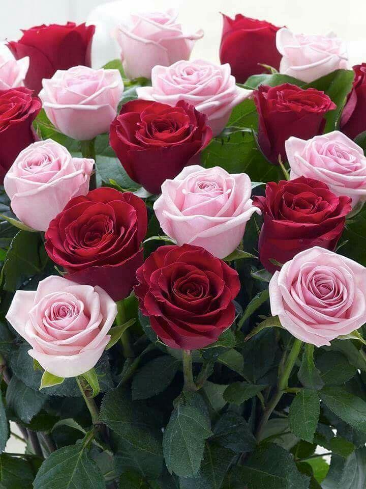 Rosen so viele, aber wenn Sie schauen, haben sie kleine winzige Unterschiede und meine haben große Unterschiede