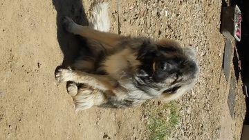 Caucasian Shepherd Dog puppy for sale in FRAZIER PARK, CA. ADN-32185 on PuppyFinder.com Gender: Male. Age: 11 Months Old