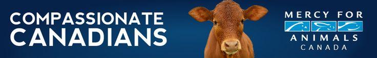 Antibiotic Misuse Runs Rampant on Canadian Factory Farms - MFA Canada Blog