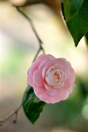 Camellia flower. wow just fell in love!