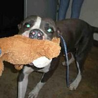 AUSTIN- TX - CRITICAL! FAST KILL SHELTER! *MIGOS* is a YOUNG ADULT STAFFORDSHIRE BULL TERRIER for adoption in who needs a loving home.