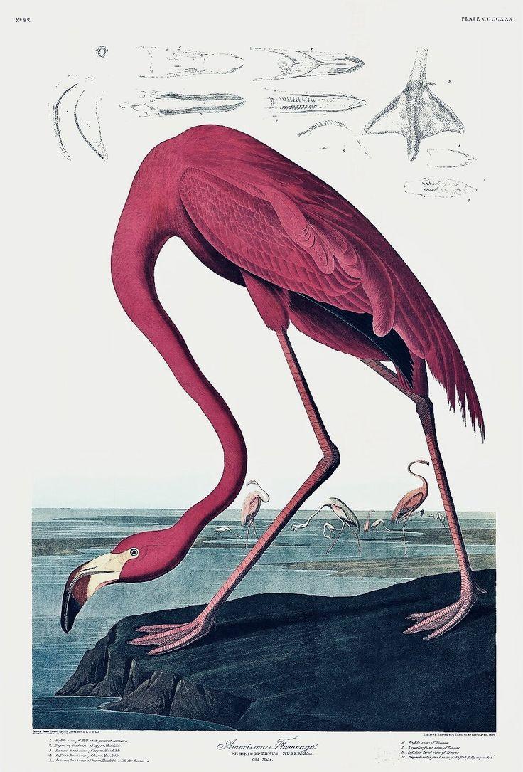 Princeton Audubon Print American Flamingo