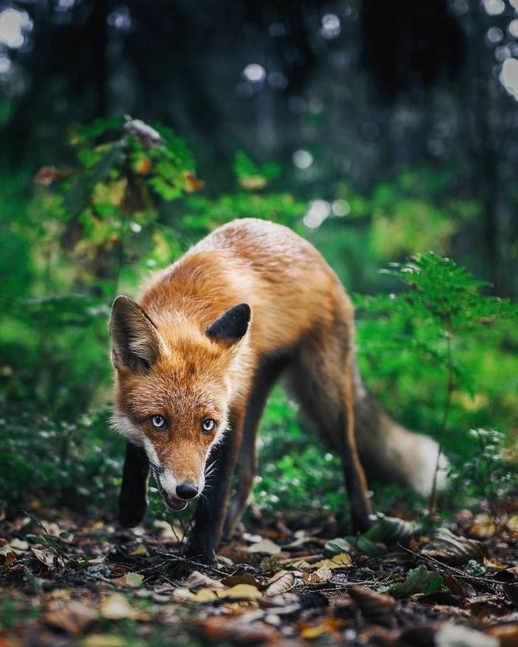 фотографии всех лесных животных тому же, цесариное