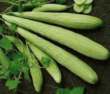 500 Seeds Armenian Yard Long Cucumber Non-GMO Heirloom   new seeds for 2016